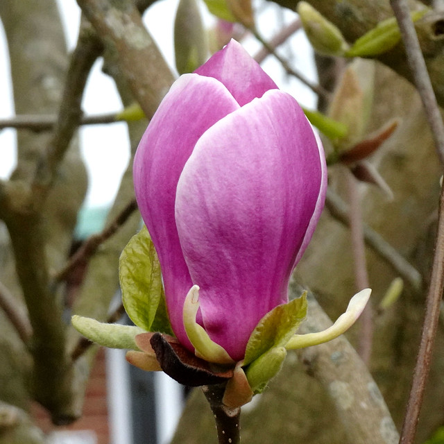 Beautiful magnolia!!