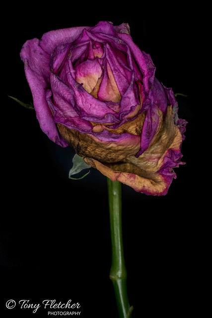 'DECAYING ROSE' - EDIT