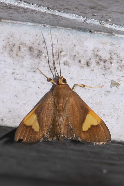 Makunda Insects-15199 - Patania curisalis