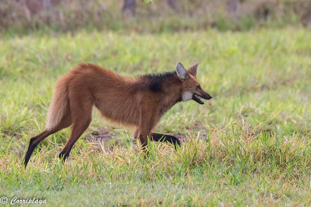 Lobo de crin, Chrysocyon brachyurus, Maned wolf