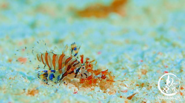 シマヒメヤマノカミの幼魚