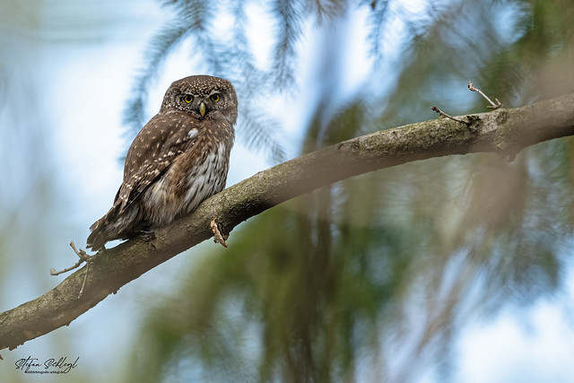 Sperlingskauz / Eurasian Pygmy Owl / Glaucidium passerinum
