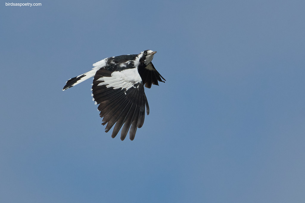 Magpie-lark: Wafting