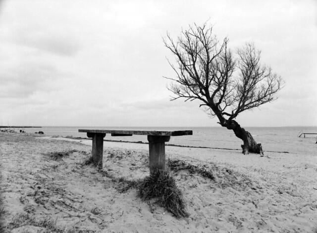 Sletten Strand: Stædig kæmpende piletræ og udsigtspunkt