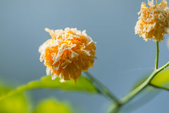 Japanese Rose  (Kerria Japonica) after the frost