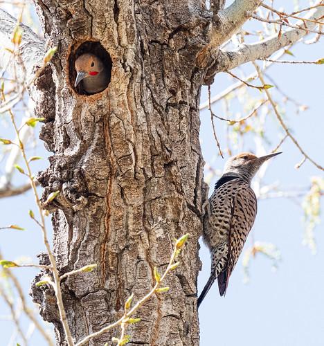 nesting_northern_flicker_pair-20210409-106