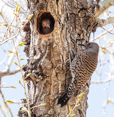 nesting_northern_flicker_pair-20210409-120