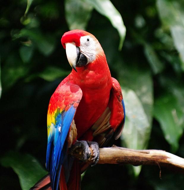 Wild Scarlet Macaw (Ara macao)