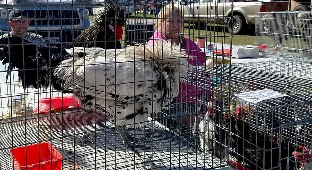 Chicken breeders at farm fair