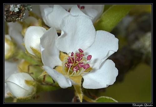 Poirier (Pyrus communis)