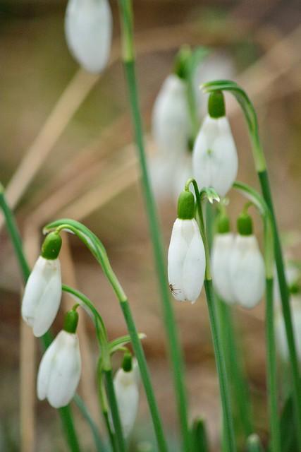 Blüten des kleinen Schneeglöckchens