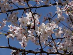 Muko Jinja cherry blossoms