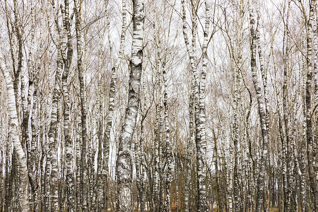 Birch   Berkenbomen