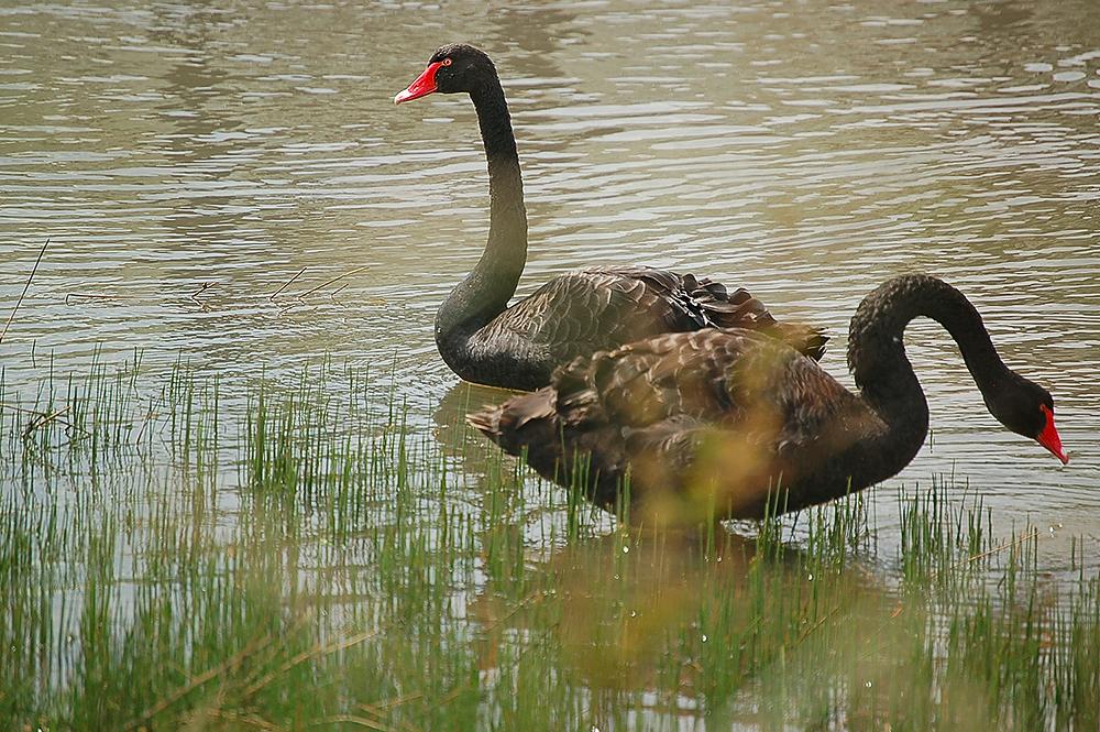 _black_swans_1_