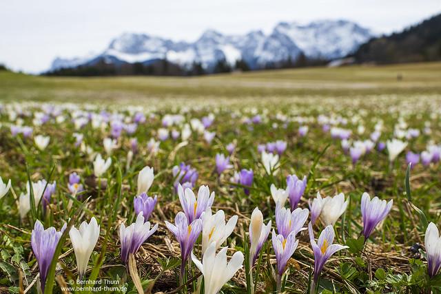 Crocus bloom and Karwendel