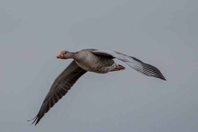 Graugans im Flug / Greylag goose in flight