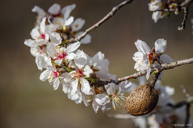 Amandier en fleurs (Savoie) *  On Explore 11/04/2021 *