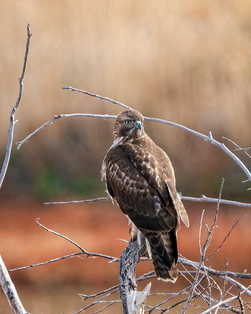 Hawk in Tree 240