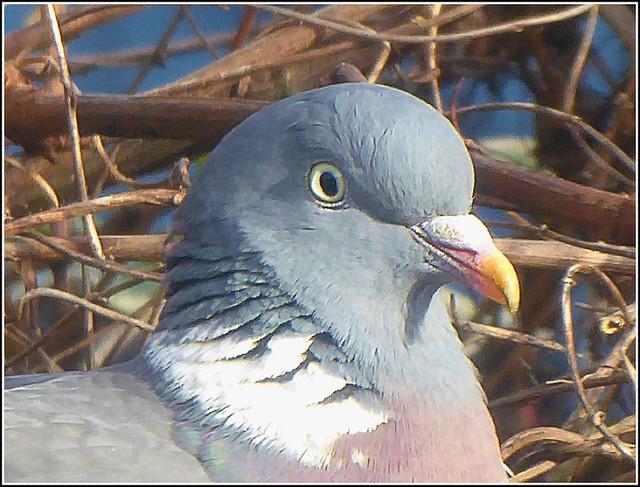 Pigeon Head ..