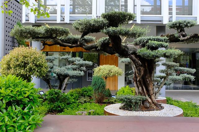 Azca XVI - Olivo / Olive Tree