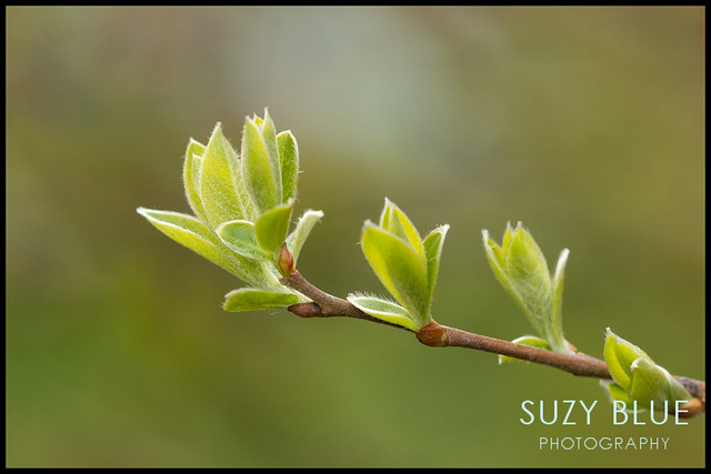 Fresh Willow leaves