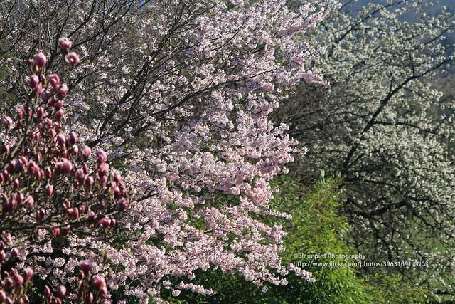 Hohengehren, Spring blossom