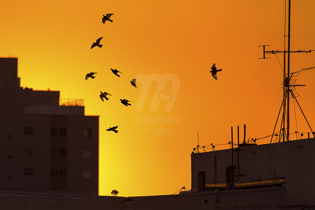 Flock of Pigeons at Sunset