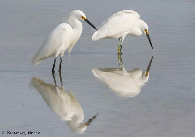 Snowy Egret Pair with Reflection