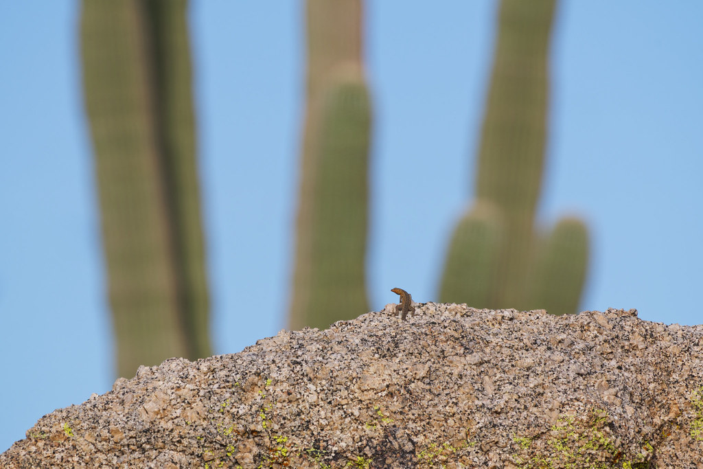 An environmental portrait of a common side-blotched lizard perched on a granite boulder in front of a tall saguaro, taken on an offshoot of the Latigo Trail in the Brown's Ranch area of McDowell Sonoran Preserve in Scottsdale, Arizona on April 4, 2021. Original: _RAC6033.arw