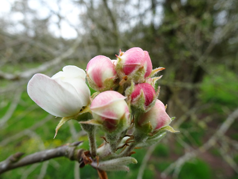 Apple Blossom, Canns Hill