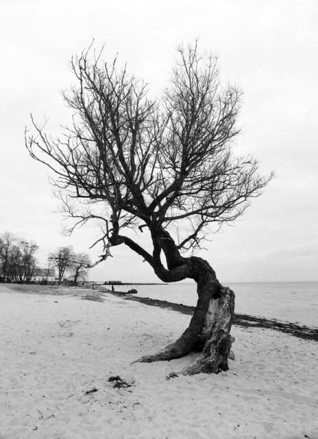 Sletten Strand: Stædigt kæmpende piletræ