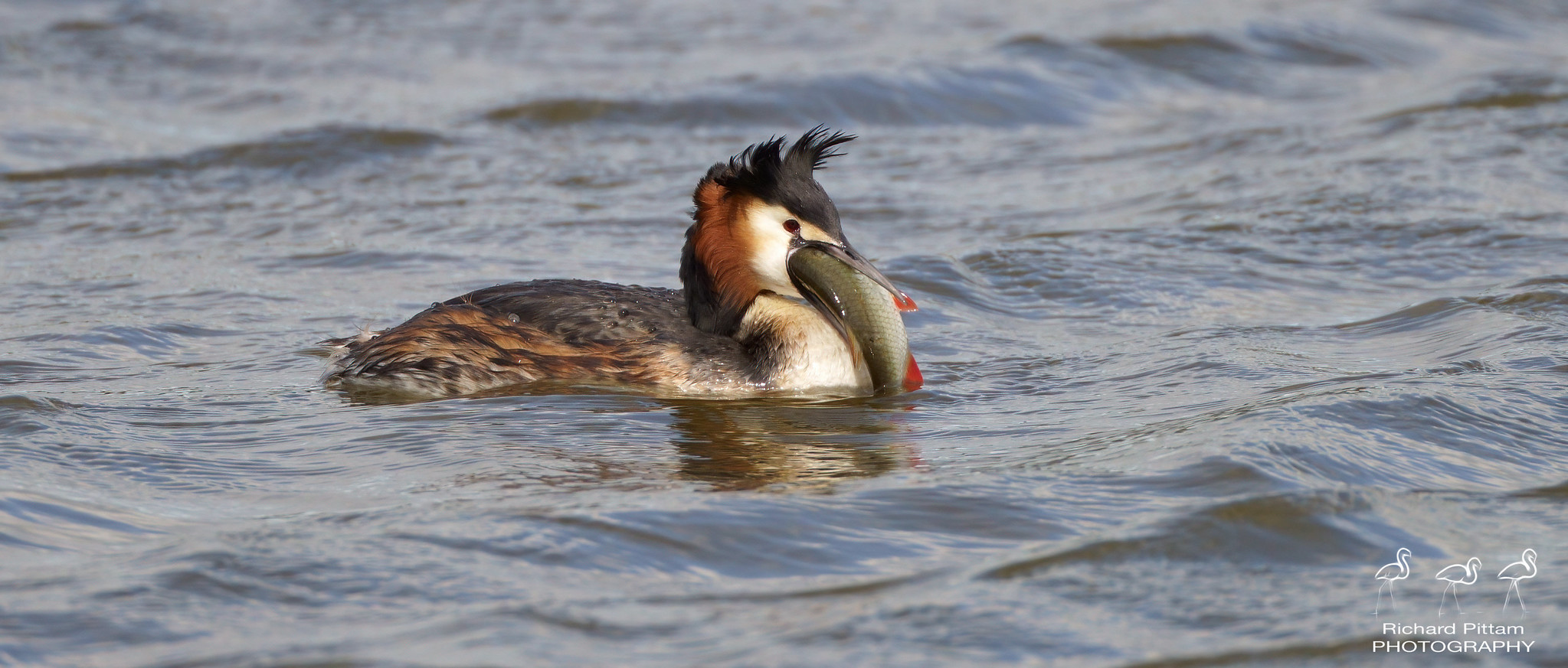 Great Crested Grebe - 'a big fish supper'