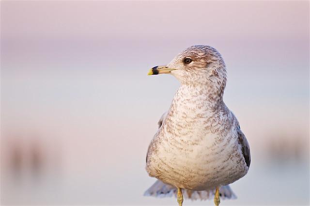 Ring-billed Gull Portrait