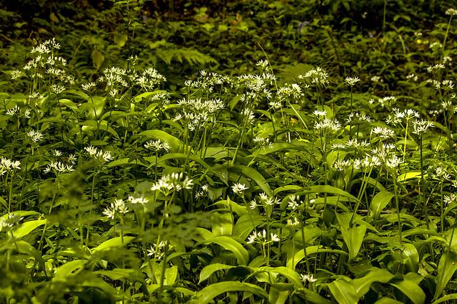 allo de oso ( Allium ursinum)