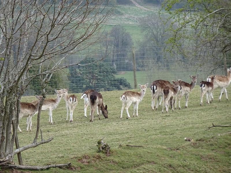 Deer Field: Deer