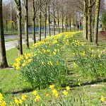 Spring daffodil carpet at Cottam, Preston