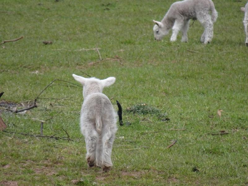 Sheep and Lambs, Bacton