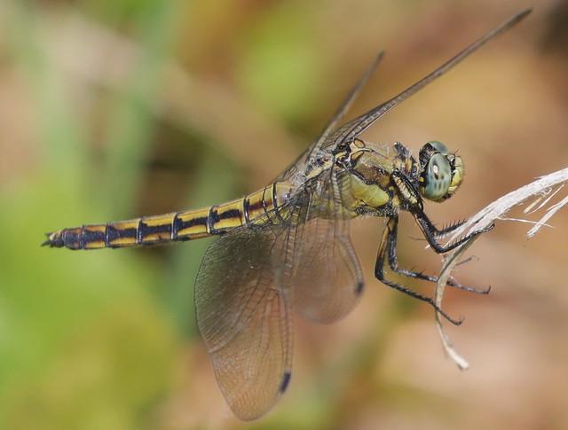 Orthetrum cancellatum / Black-tailed Skimmer / gewone oeverlibel