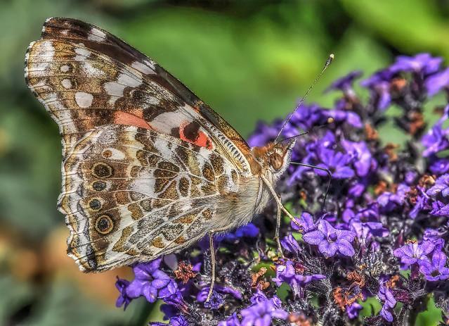 Painted Lady, On Purple