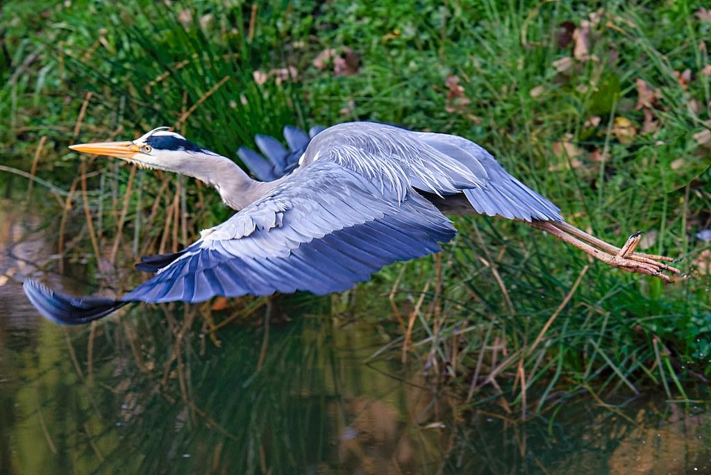 Ardea cinerea Linnaeus - héron cendré - blauwe reiger - grey heron - Graureiher