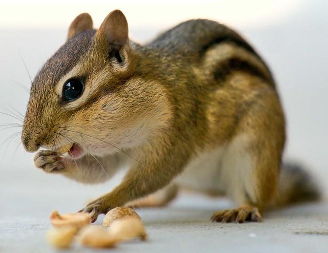 Chipmunk feeding his face!