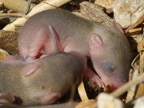 Nido de ratones en el campo. Ratones recién nacidos