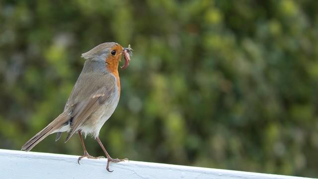 RobinGrub