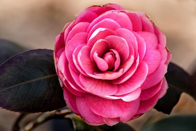 Early Spring Camellia 3-0 F LR 3-20-21 J075