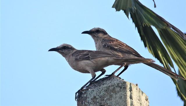 Sabiá-do-campo (Mimus saturninus), Vale da Neblina-PB, Brasil.