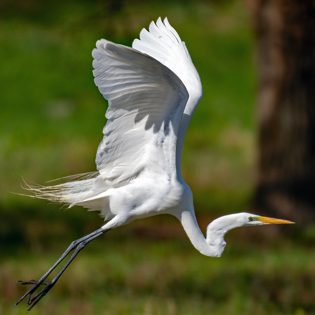 Great Egret ge_BSW9950