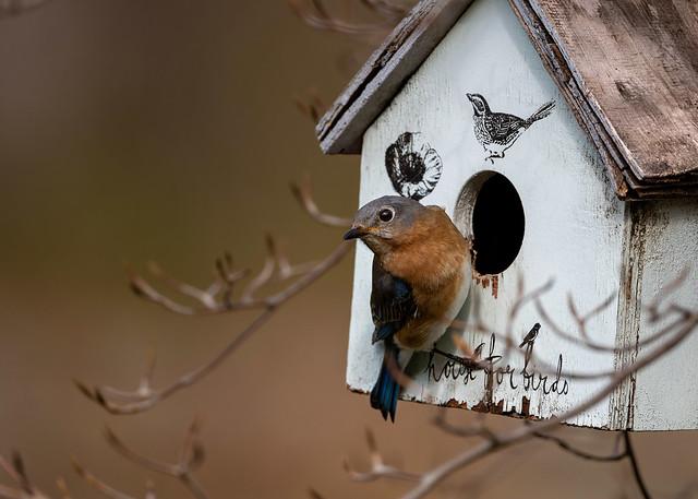 Bluebird- Sialia sialis
