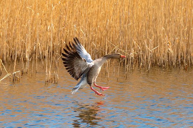 Greylag Goose_DSF7109
