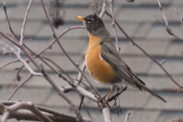 Merle d'Amérique - American Robin, Québec, PQ, Canada - 3725