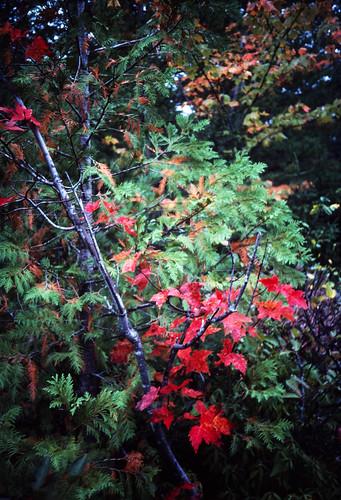 Autumn Red (1)